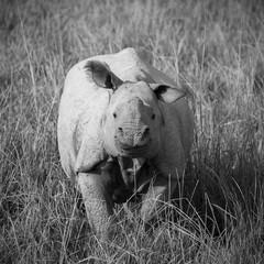 One horned rhinoceros in Kaziranga National Park