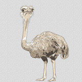 vector closeup portrait of funny Ostrich Bird
