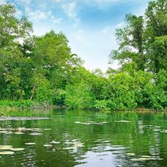 Lotuses blooming in the lake