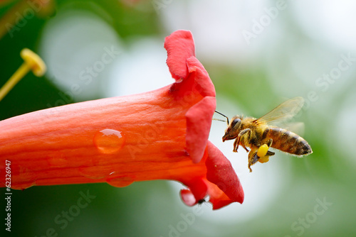 Foto op Plexiglas Bee honey bee collects flower nectar