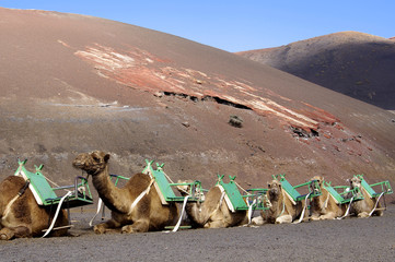camels at Timanfaya national park in Lanzarote wait for tourists