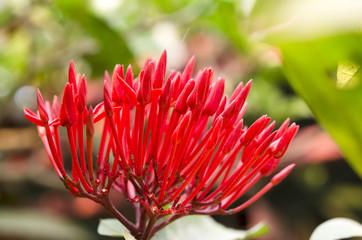 Bunch of Red Ixora, West Indian Jasmine (Ixora, spp.), Closeup