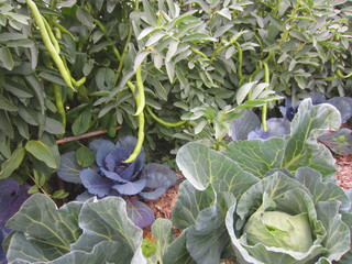 broad beans and cabbage