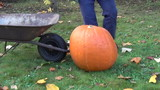 Farmer man put huge orange ripe pumpkin in barrow and carry