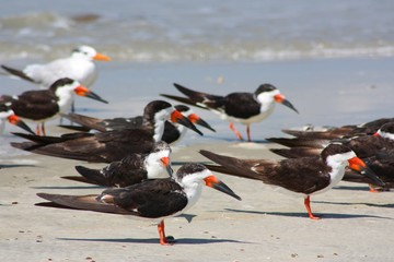 Group of Black Skimmers