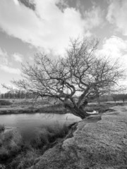 Black and White image of an old Tree by a pond