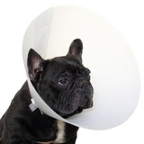 Mature french bulldog with elizabethan collar