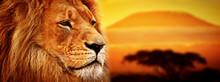 Portret lwa na sawannie. Kilimandżaro o zachodzie słońca. safari