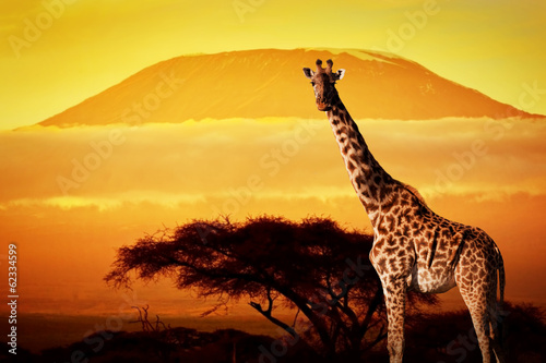 Giraffe on savanna. Mount Kilimanjaro at sunset. Safari