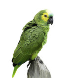 Brazilian Green Parrot on white background