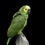 Brazilian Green Parrot on black background
