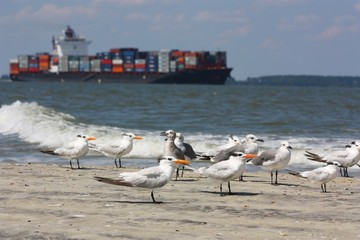 Container Ship Passing by a Group of Terns