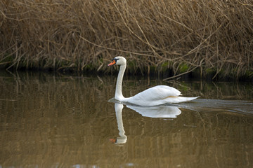 Swan swimming in a canal in winter