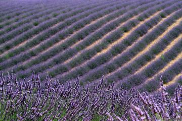 valensole provenza francia campi di lavanda