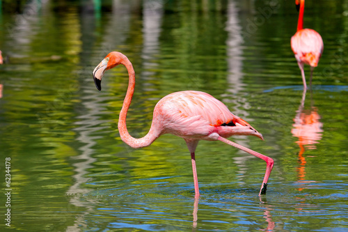 Pink Caribbean flamingo walking on water