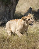 adolescent lion (Panthera leo)