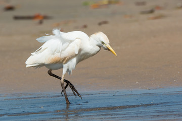 Cattle Egret walking up the beach