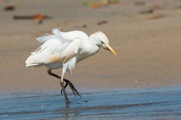 Cattle Egret walking up the beach