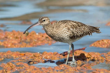 Whimbrel carrying a small crab