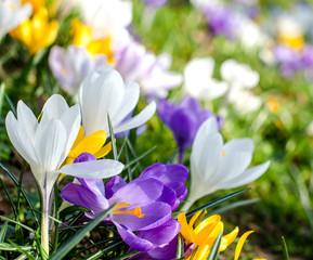 Frühlingserwachen. Krokusse :)