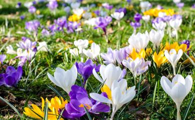 Frühlingserwachen: Krokusse :)