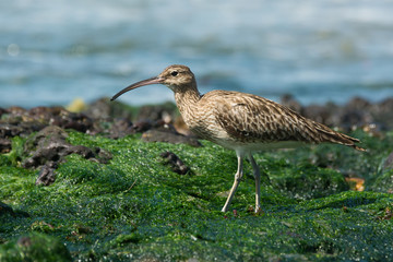 Whimbrel walking on a bed of seaweed