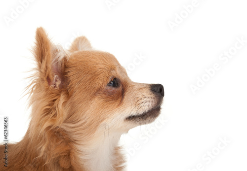 Tuinposter Eekhoorn Long haired chihuahua puppy dog portrait