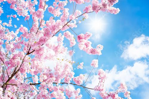 Plakat Kirschbaumblüte