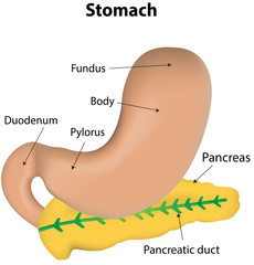 Stomach and Pancreas Organs Labeled