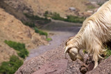 A white mountain goat near Toubkal