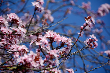 Pink blossom of an ornamental cherry tree