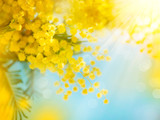 Fototapety Mimosa Spring Flowers Easter background. Blooming mimosa tree