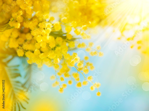 Mimosa Spring Flowers Easter background. Blooming mimosa tree