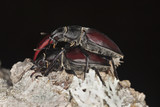 Mating Stag beetles, Lucanus cervus on oak