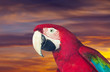 Head of red macaw papagay