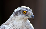 goshawk head