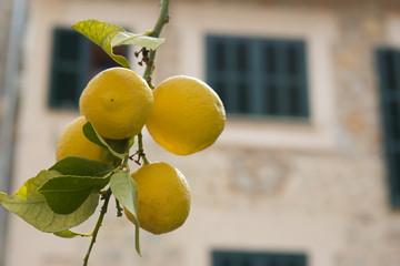 Zitronenzweig vor spanischem Haus