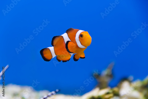 Canvas Zebra Clown fish