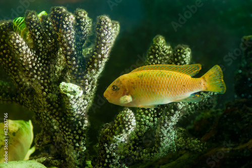 yellow aquarium fish near corals