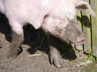 A domestic pig in the mud at a childrens farm