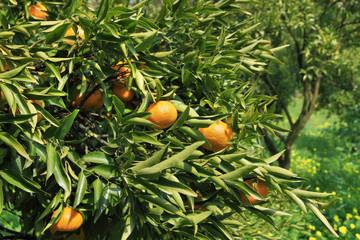 Mandarini maturi