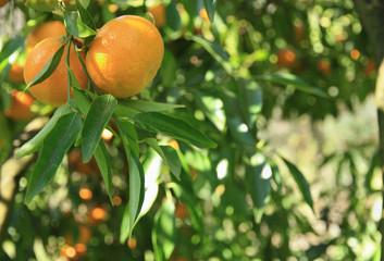 Ramo di mandarini