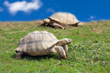 Two large tortoises