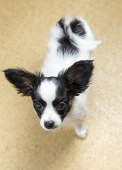 Cute Puppy Papillon