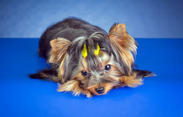 Young Yorkshire Terrier lying