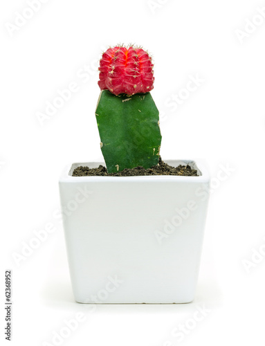 Cactus in white pot