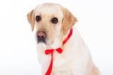 Lovely labrador dog with red ribbon
