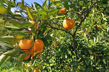 Ramo carico di gustose arance