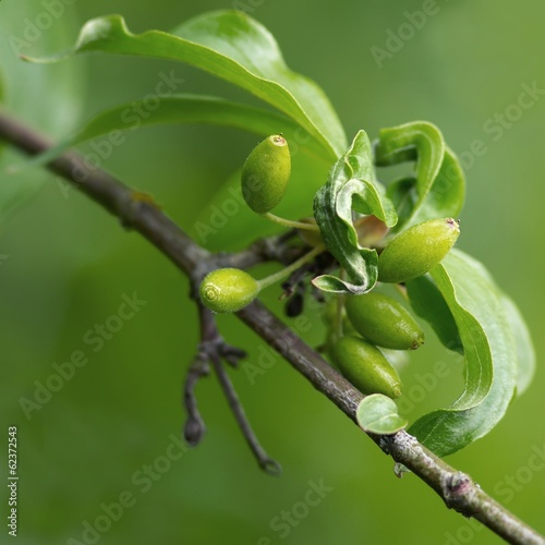 unreife kornelkirschen / unripe cornel fruits