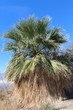 Native California Fan Palm Tree